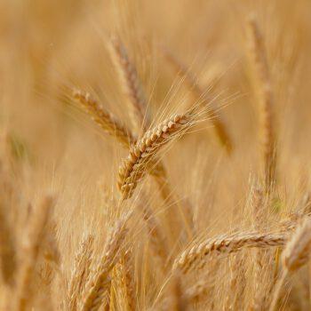 Cena mąki wzrośnie. To nieuniknione